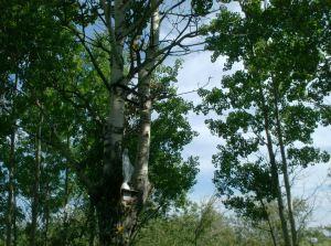 apparition de Marie dans l'arbre DUPUY
