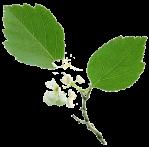 herbier-aubepine-feuille