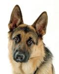 Berger allemand - German Shepherd (EN) (Canis lupus familiaris) [Nickyhannaway +] (GDFL) (WKP)