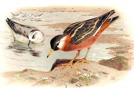 oiseauphalarope1