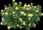rose vivace