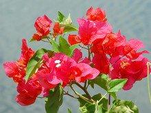 fleur-rouge