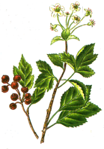 herbe-aubepine