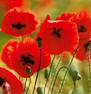 fleur-rouge-coquelicot11