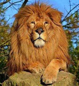 Lion_d'Afrique