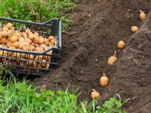 pommes-de-terre-plantation