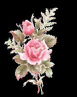 fleur rose dos rosas rosas