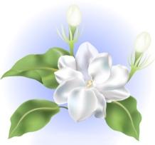 fleur sampaguitad