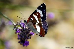Photos de la création de Dieu et textes qui vous donneront envie de Le louer...    Papillon-jean-pierre