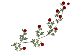 BARRE ROSE