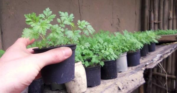 Artemisia annua 12