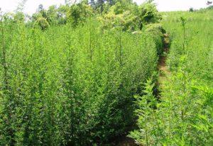 Artemisia annua-annua-armoise-annuelle-bio-artemisinine-plante-anti-cancer-artemisia-3-300x206