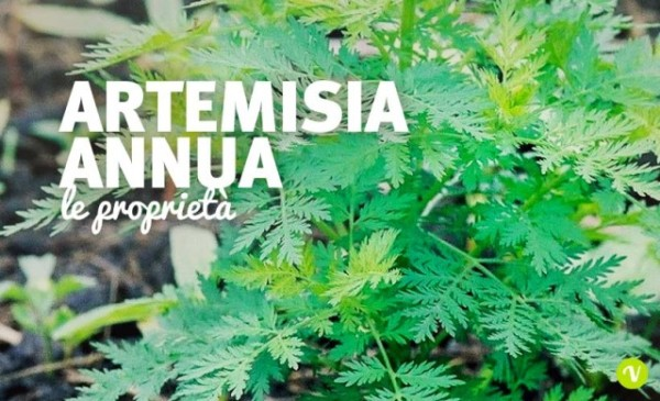 Artemisia-annua-proprieta-640x390