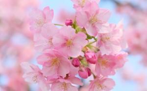 fleur rose du printemps