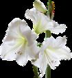 lys fleur