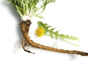 RACINE PISSENLIT plante-racine-pissenlit-bio-anti-cancer-taraxacum-biologiquement-david-hervy-7