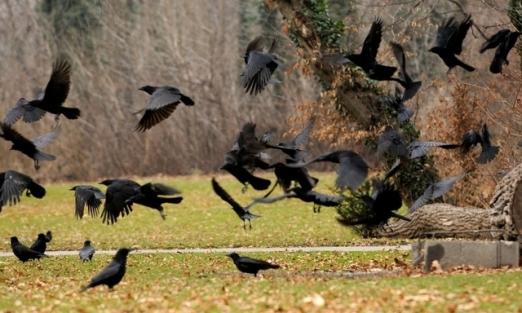 oiseau corneilles agressives