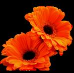 fleur2 orange transparentes