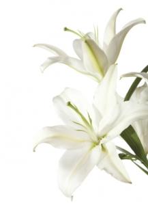lys-blanc