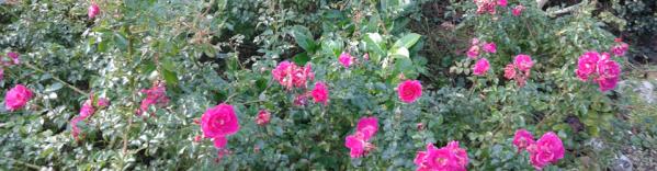 Roses_des_Buissonnets-960x250